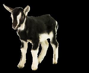 Grote huisdierenoppas, verzorging geit, schaap, ezel vakantie